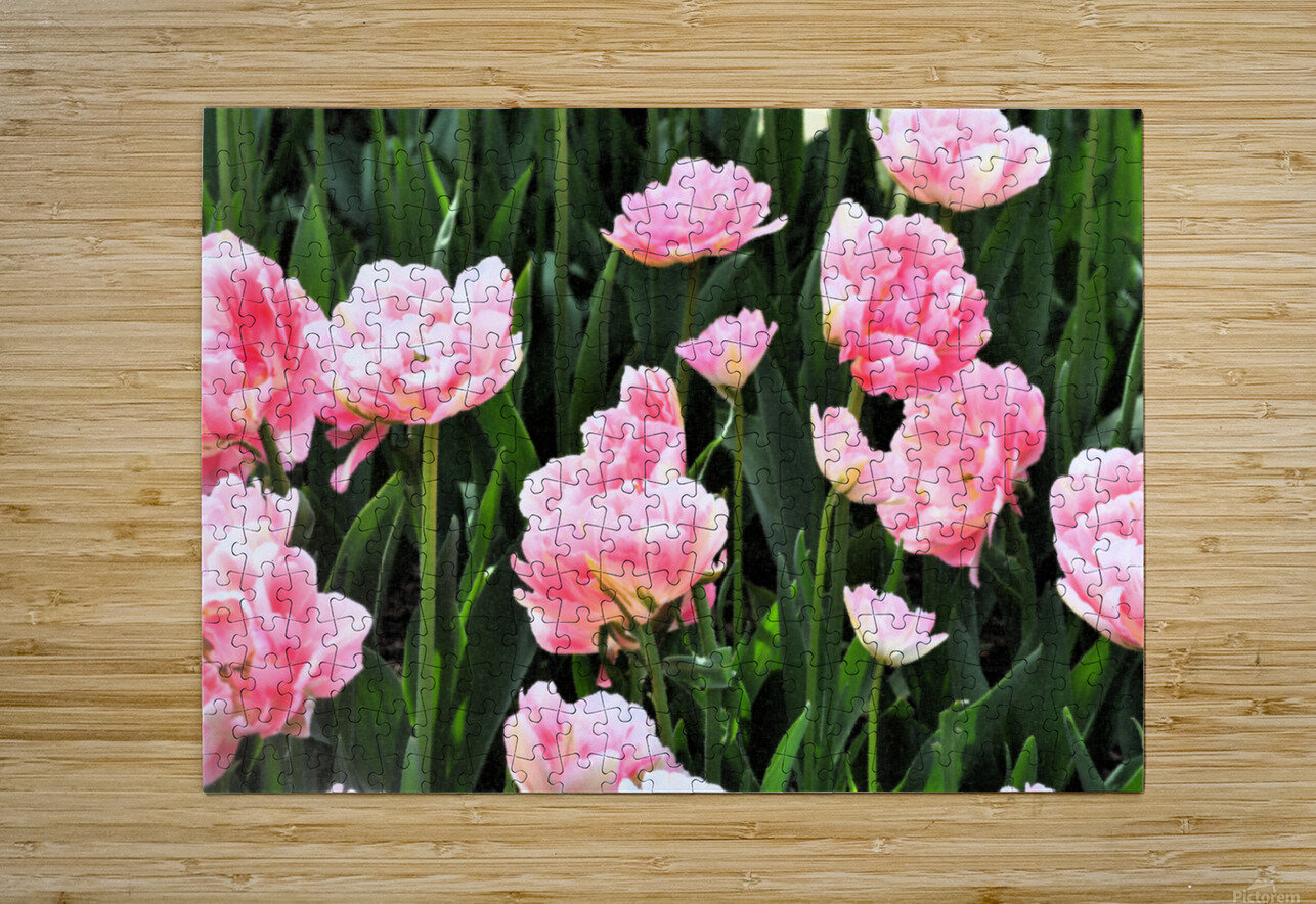Double Pink Tulips  HD Metal print with Floating Frame on Back