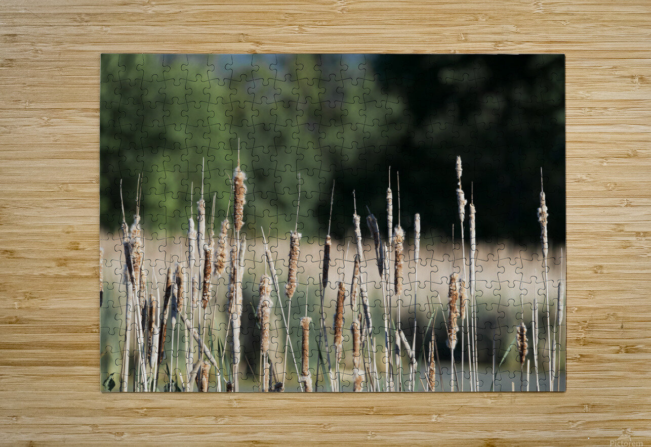 Cat Tails in Spring  HD Metal print with Floating Frame on Back