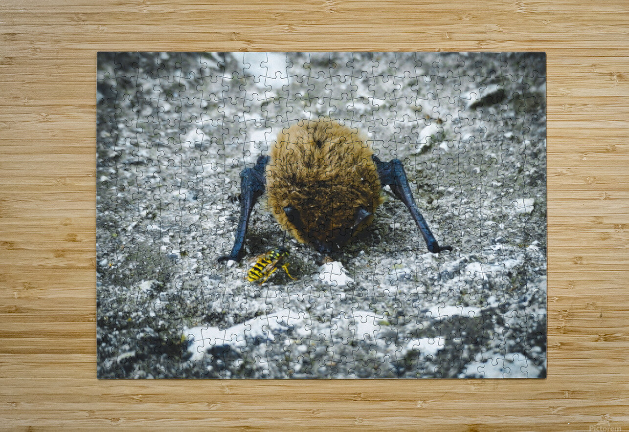 When a baby bat meets a bee.  HD Metal print with Floating Frame on Back