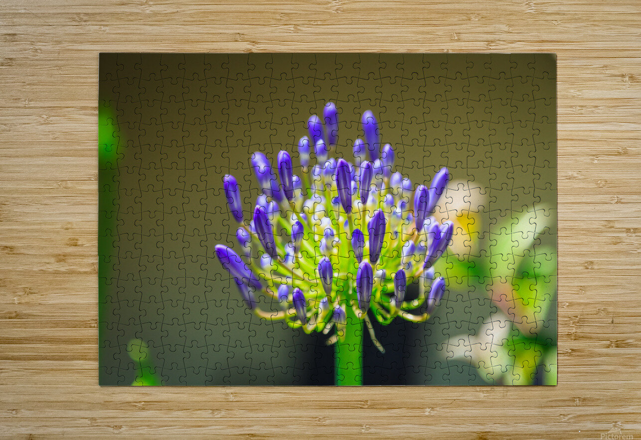 Agapanthus  HD Metal print with Floating Frame on Back