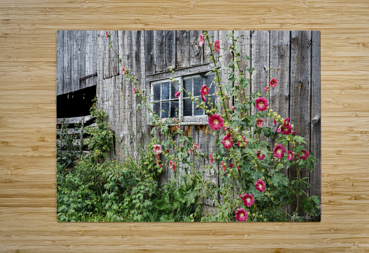 Roses tremieres embellies par une vieille grange - Hollyhocks embellished by an old barn  HD Metal print with Floating Frame on Back