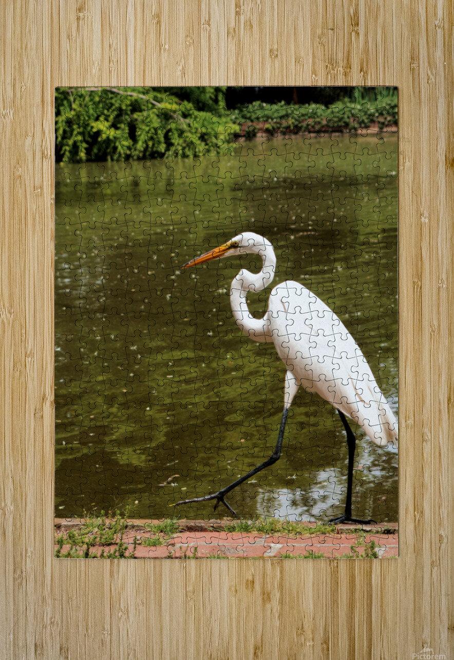 Strutting Egret  HD Metal print with Floating Frame on Back