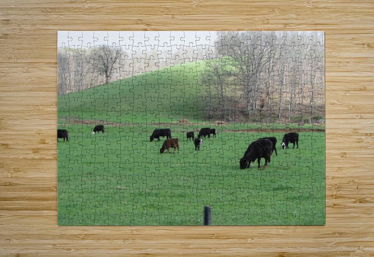 Cows Lullaby  Impression métal HD avec cadre flottant sur le dos