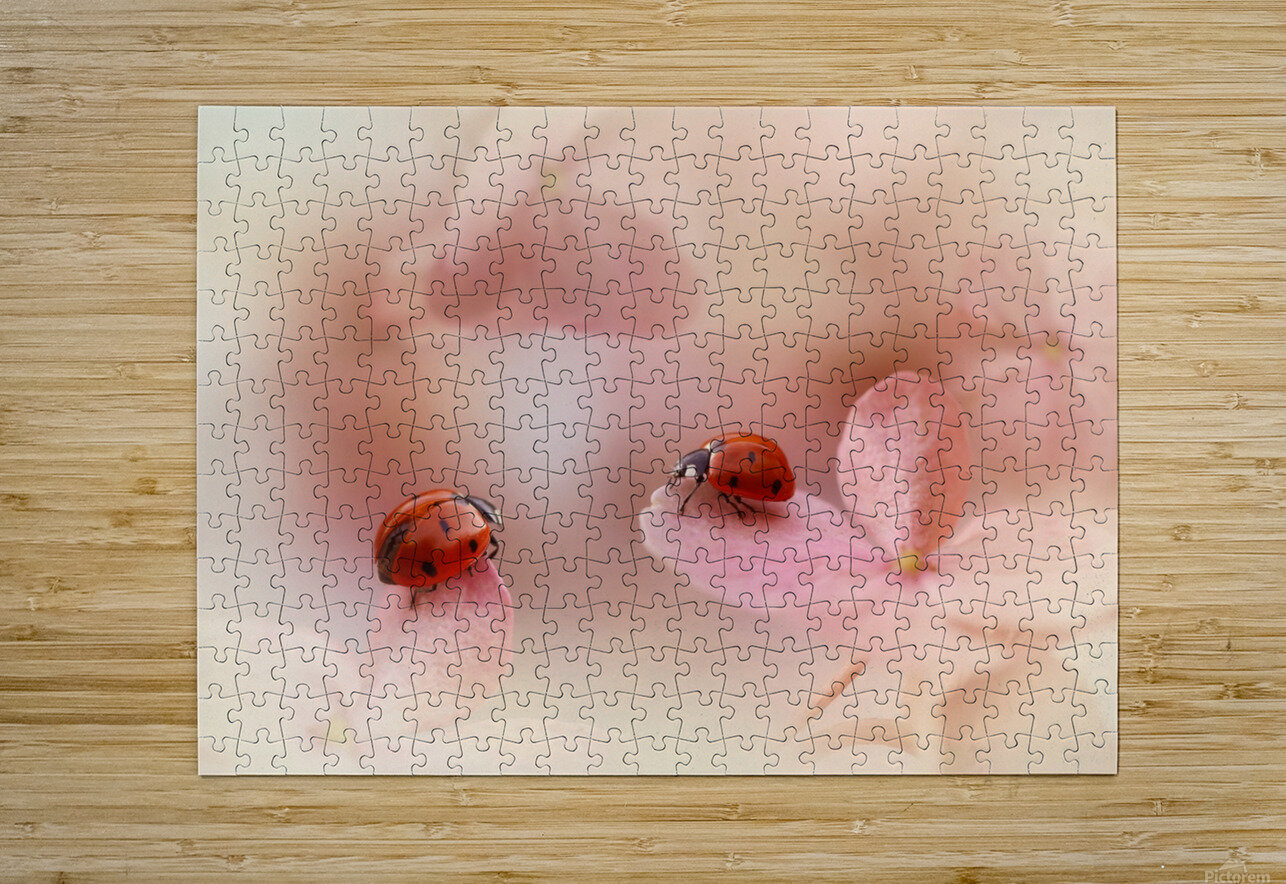 Ladybirds on pink hydrangea.  HD Metal print with Floating Frame on Back