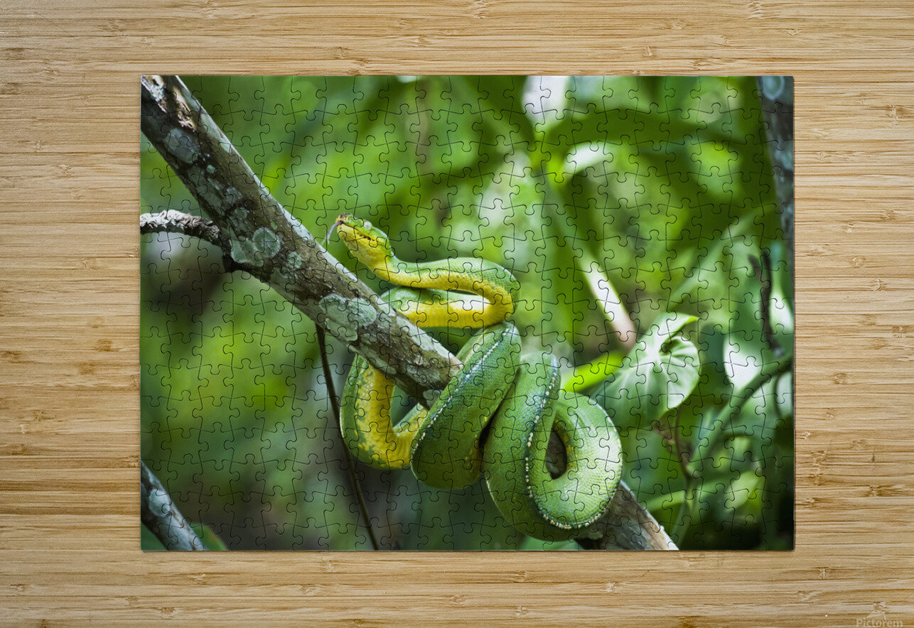 Green tree snake (Dendrelaphis punctulata); Madang Province, Papua New Guinea  HD Metal print with Floating Frame on Back