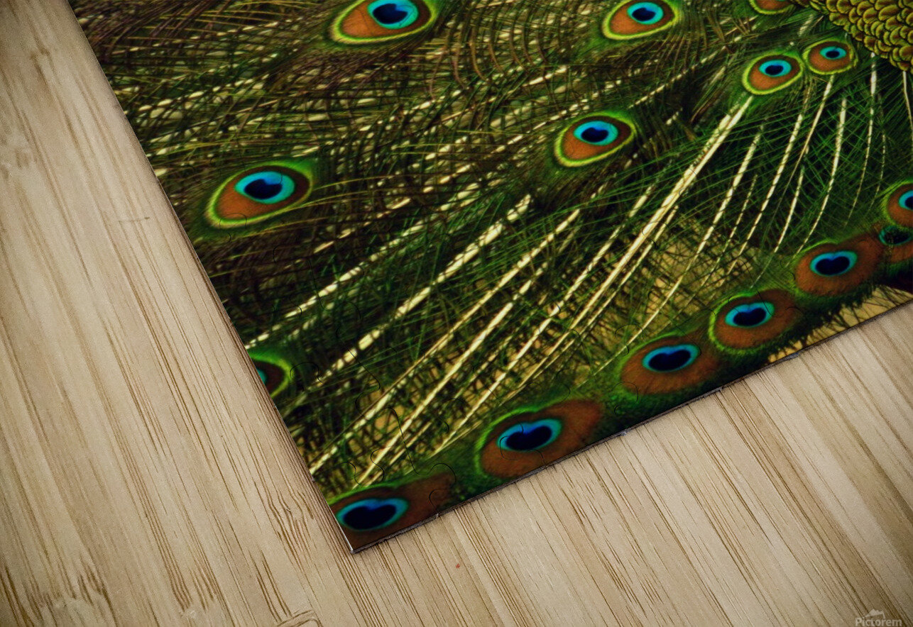 blue and green peafowl HD Sublimation Metal print
