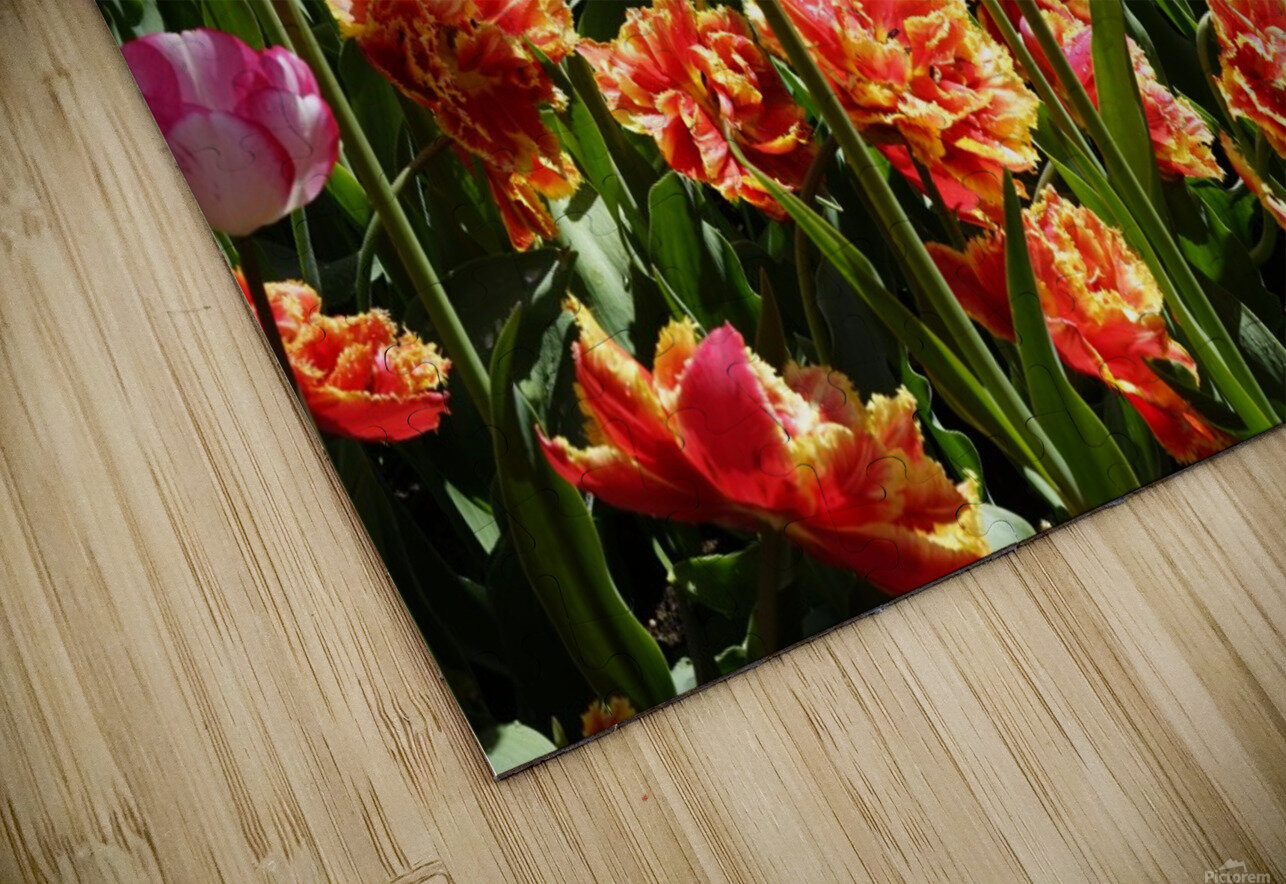 Tulips of the Netherlands 3 of 7 HD Sublimation Metal print