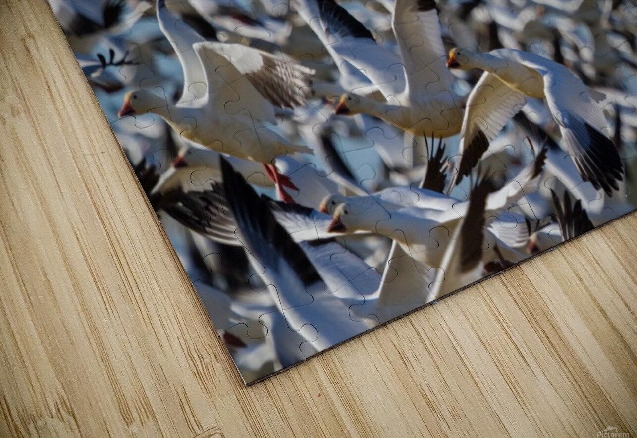 Snow Geese ap 1855 HD Sublimation Metal print