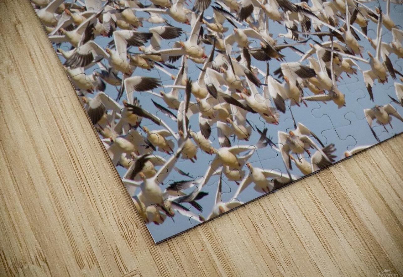 Snow Geese ap 1859 HD Sublimation Metal print