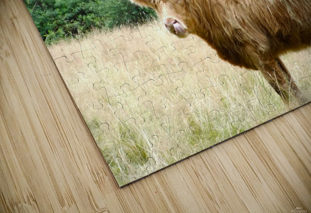 Hairy Coo - Scottish Highlands HD Sublimation Metal print