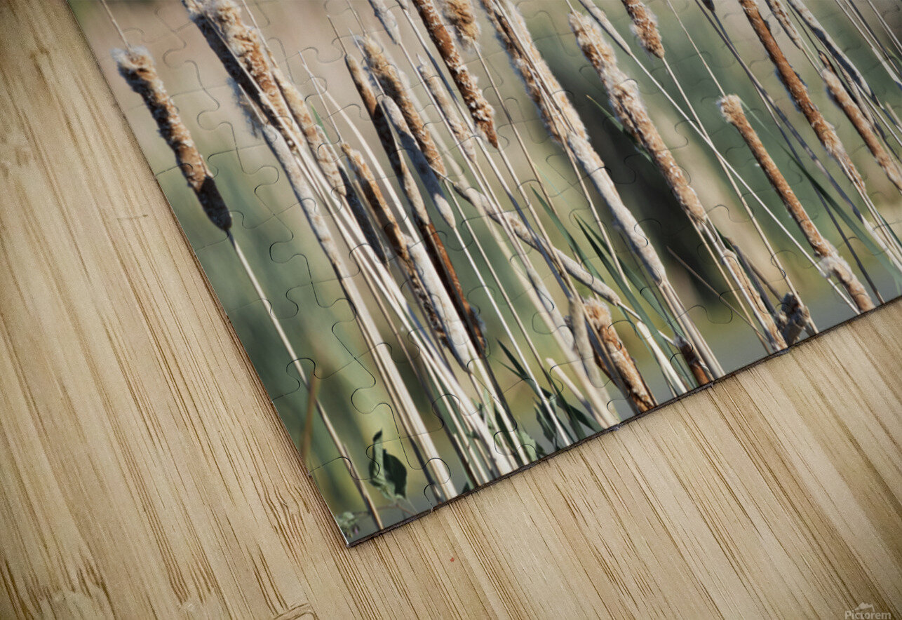 Cat Tails in Spring HD Sublimation Metal print