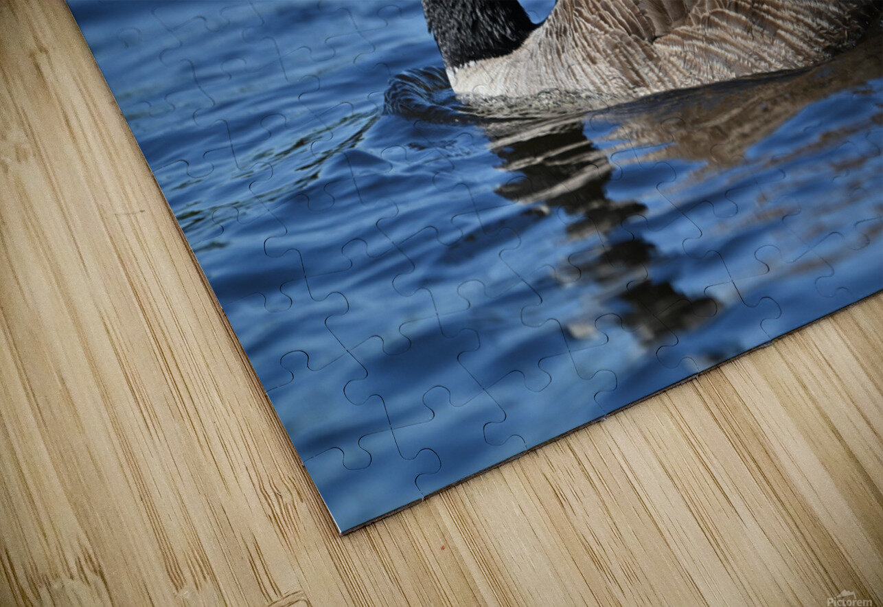 Canada Goose on water HD Sublimation Metal print