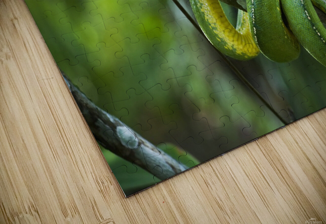 Green tree snake (Dendrelaphis punctulata); Madang Province, Papua New Guinea HD Sublimation Metal print