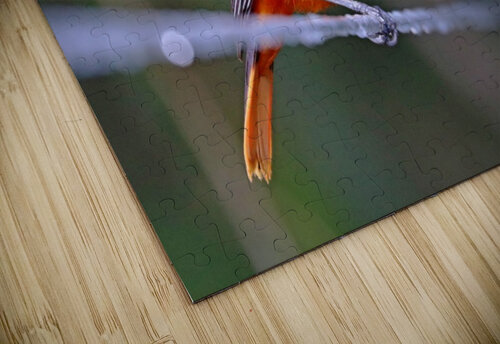 Baltimore Oriole On The Line jigsaw puzzle