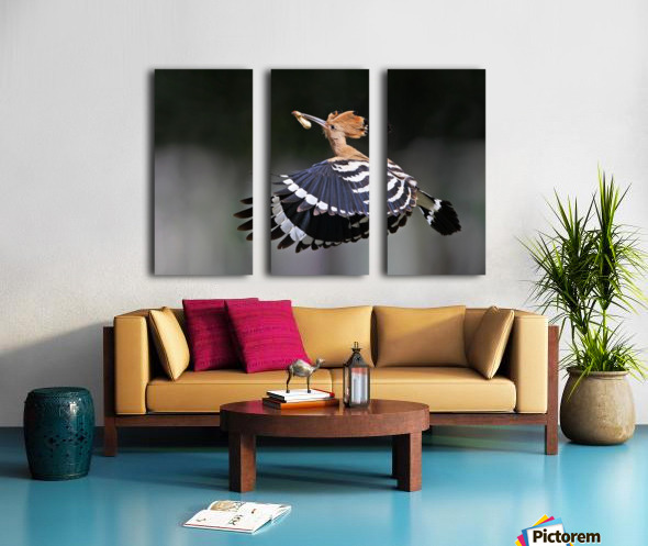 Hoopoe,Feeding.. Split Canvas print