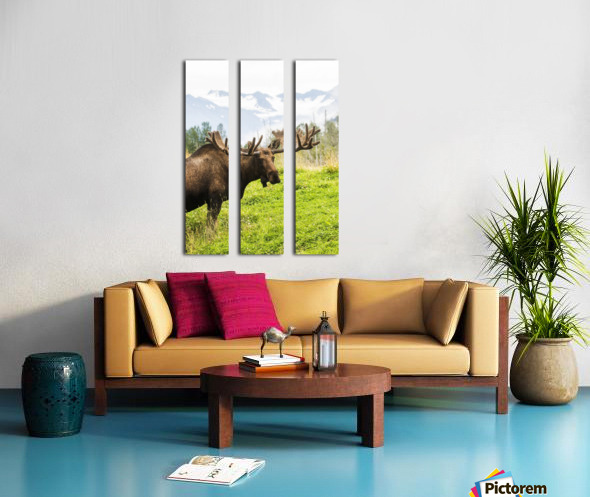 Bull moose (alces alces) with antlers in velvet, captive in Alaska Wildlife Conservation Center, South-central Alaska; Portage, Alaska, United States of America Split Canvas print