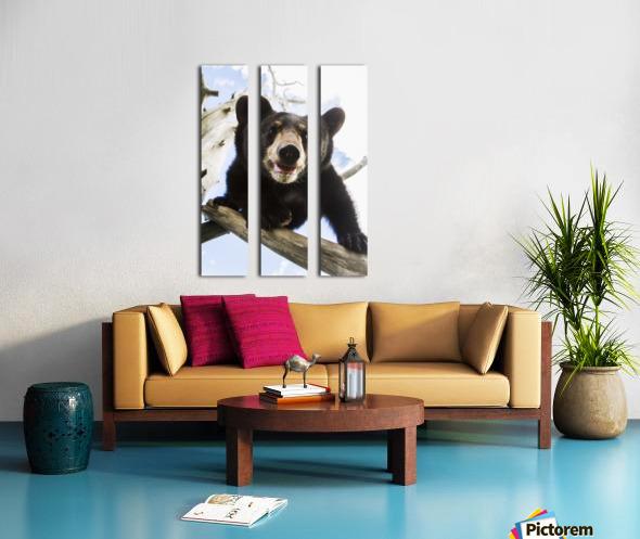 Black bear cub (ursus americanus), captive in Alaska Wildlife Conservation Center, South-central Alaska; Portage, Alaska, United States of America Split Canvas print