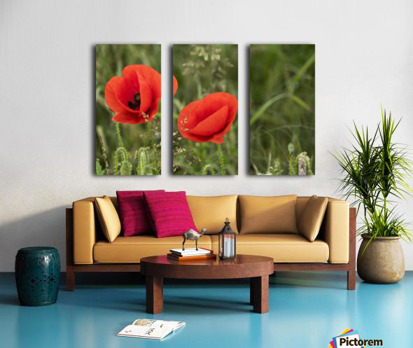 Close up of red poppies blossoming; South Shields, Tyne and Wear, England Split Canvas print