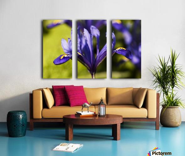 Dwarf Iris blooms in February; Oregon, United States of America Split Canvas print