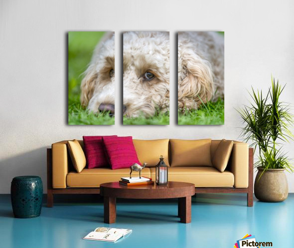 Close-up of the face of a blond cockapoo resting on the grass; North Yorkshire, England Split Canvas print