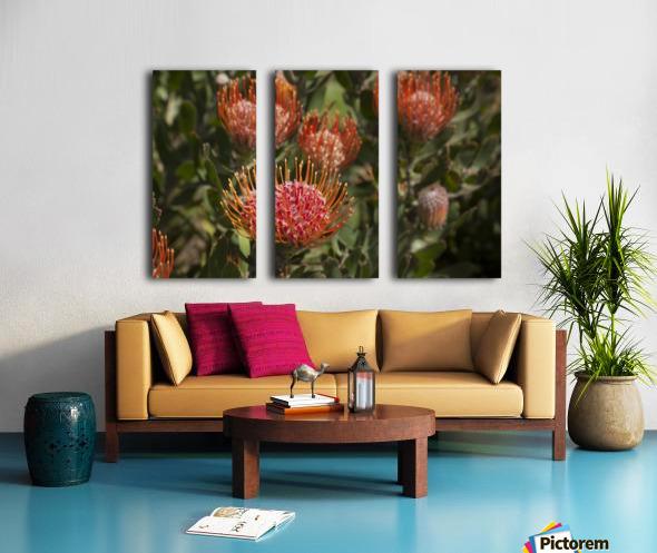Pincushion (Scabiosa) protea flower; Kula, Maui, Hawaii, United States of America Split Canvas print