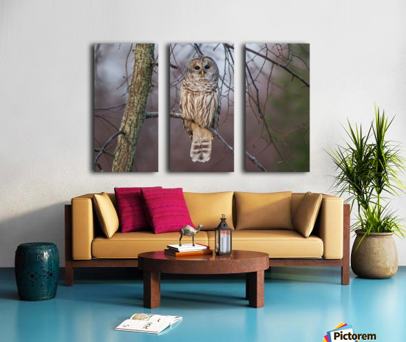 Barred Owl at sunrise. Split Canvas print