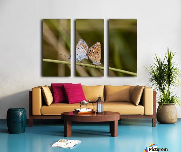 Coupling of common blue Split Canvas print