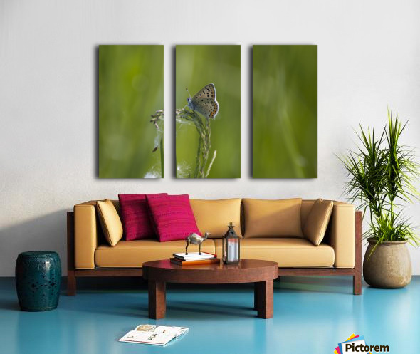 Common blue butterfly Split Canvas print