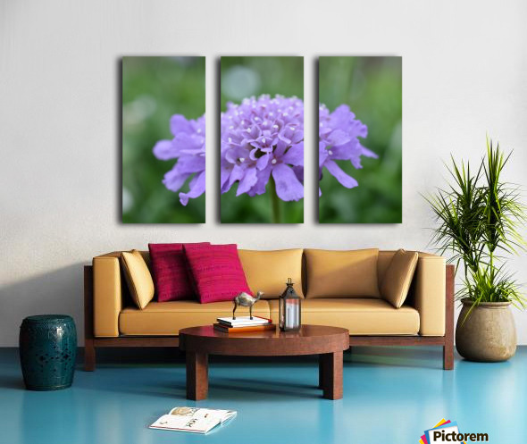 Purple Pincushion Flower Photograph  Split Canvas print