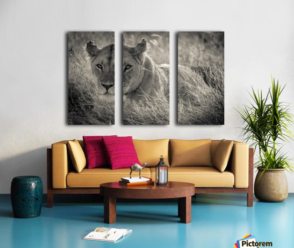 Lioness in the sun Split Canvas print