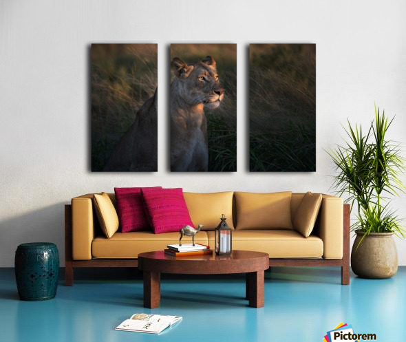 Lioness at firt day ligth Split Canvas print