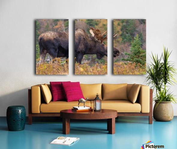 Bull moose on top of Blueberry mountain Cape Breton highlands Split Canvas print
