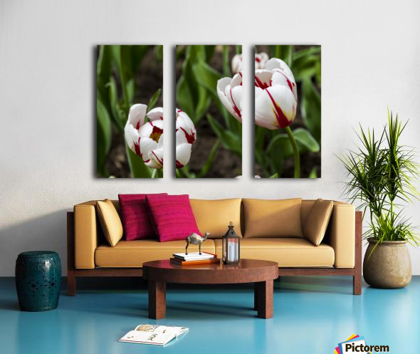 Canada 150 Tulips Split Canvas print