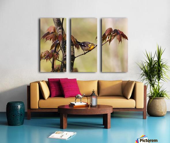 Blackburnian Warbler In Maple Tree Split Canvas print