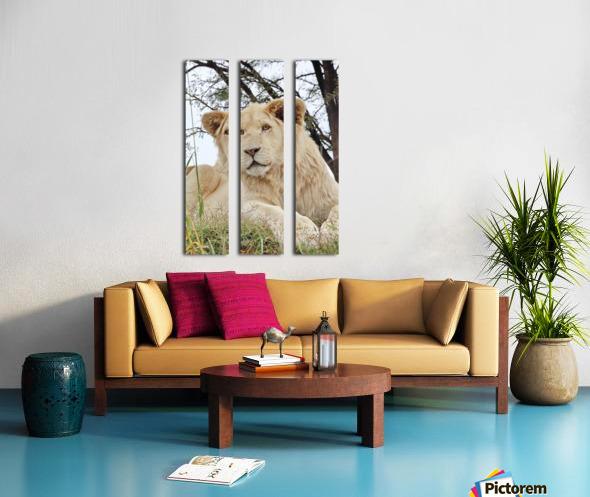 Young White Lion Male Split Canvas print