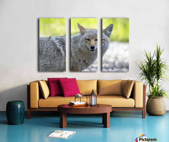 Coyote - Looking at you. Split Canvas print