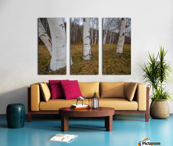 White Birch ap 2242 Split Canvas print