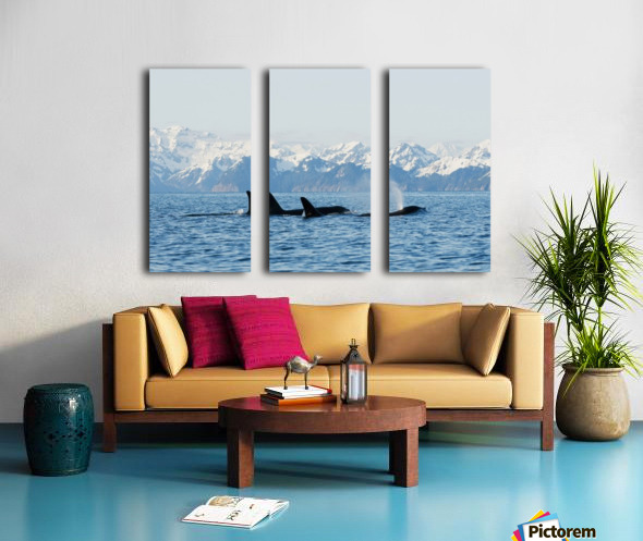 killer whale, or orcas, Orcinus orca, pod in traveling in Resurrection Bay, Kenai Fjords National Park, outside Seward, southcentral Alaska, spring Split Canvas print