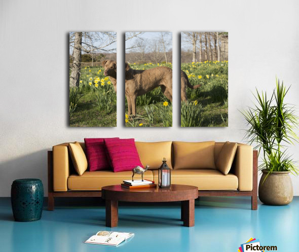 Female Chesapeake Bay retriever in daffodils; Waterford, Connecticut, USA Split Canvas print