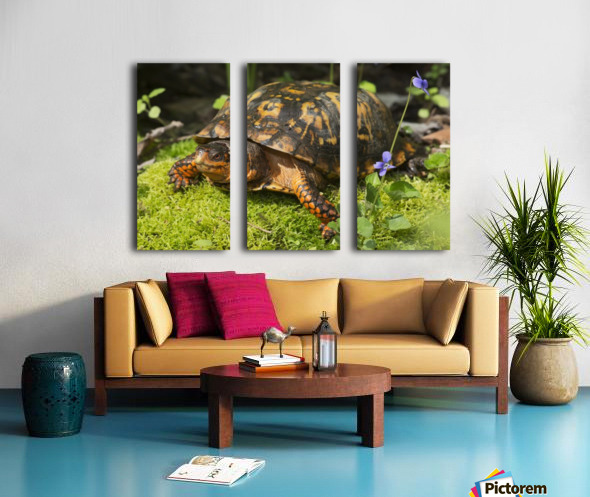 Eastern box turtle on sphagnum moss among blue violets; Connecticut, USA Split Canvas print