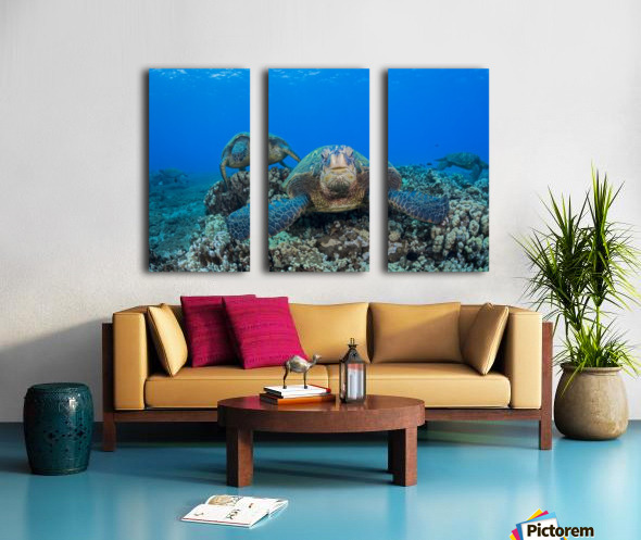 Several green sea turtles (Chelonia mydas), an endangered species, gather at a cleaning station off West Maui; Maui, Hawaii, United States of America Split Canvas print