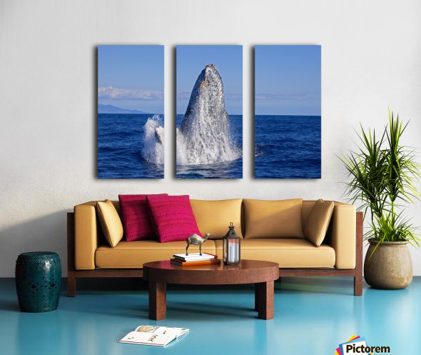 Breaching humpback whale (Megaptera novaeangliae); Maui, Hawaii, United States of America Split Canvas print