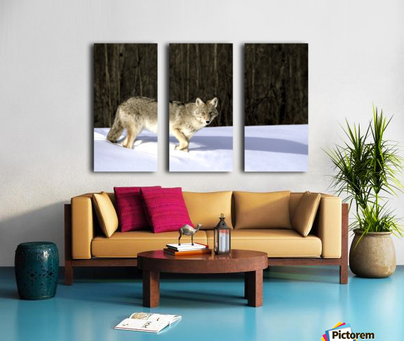 Coyote In Winter Split Canvas print
