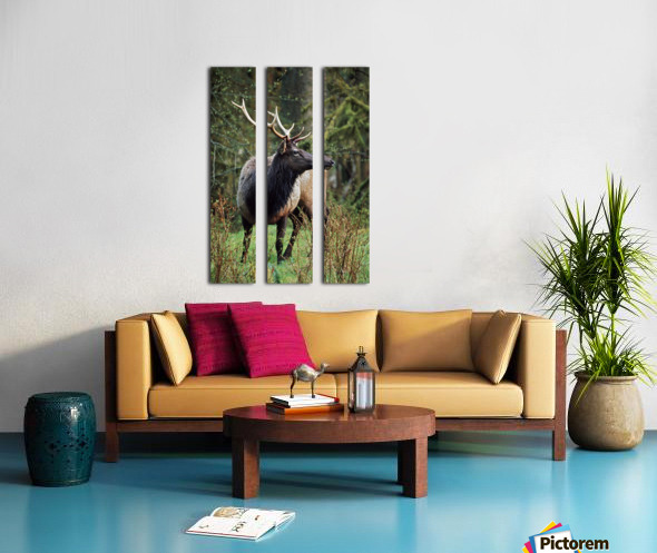 Roosevelt Elk (Cervus Canadensis Roosevelti); Olympic National Park, Washington, Usa Split Canvas print