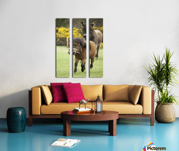 Northumberland, England; Two Ponies Running In A Field Split Canvas print