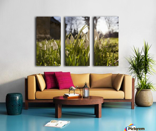 Snowdrop Flowers In The Sunlight; Northumberland, England Split Canvas print