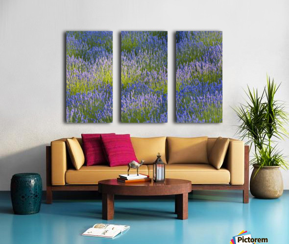 Rows of lavender plants in a field in the cowichan valley;Vancouver island british columbia canada Split Canvas print