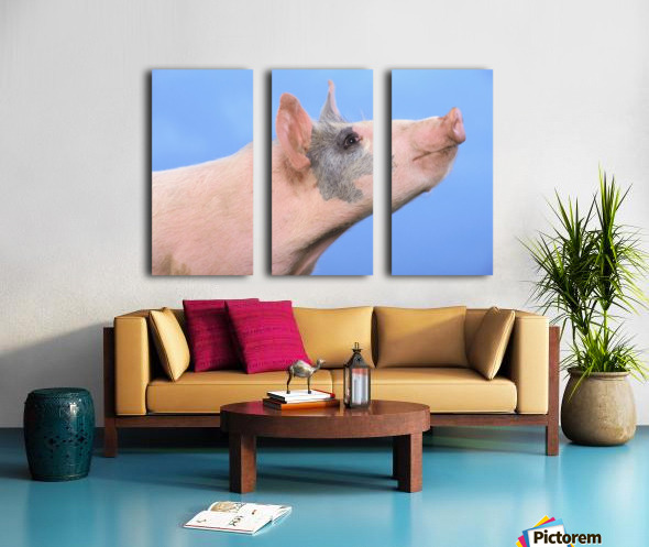 Pig with a blue background;British columbia canada Split Canvas print