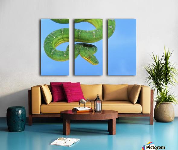 Emerald tree boa (corallus caninus) on a blue background;British columbia canada Split Canvas print