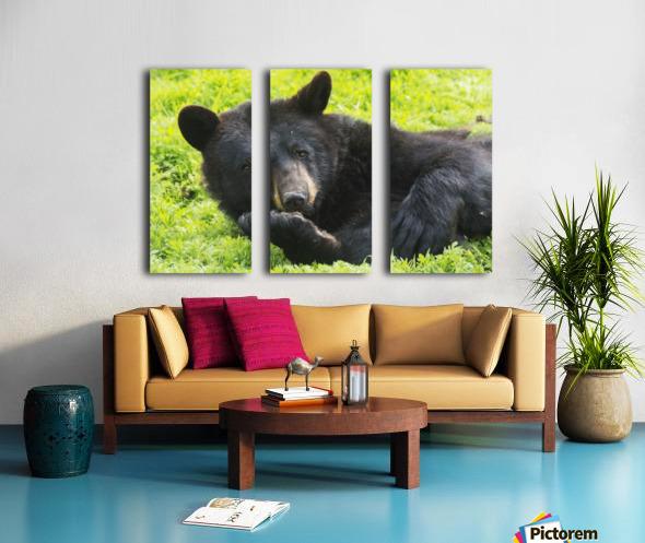 A black bear rolls around in the lush green grass Split Canvas print